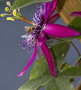 Passiflora Metal Prints - Bee In Passion Flower Metal Print by Anne Rodkin