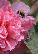Hollyhocks Photos - Bee in the Hollyhocks by Carol Groenen