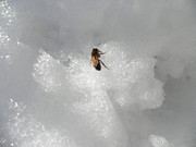 Kate Gallagher - Bee in the Snow