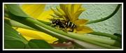 Gail Matthews - Bee in the Yellow Jacket