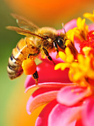 Pink Flora Posters - Bee Laden with Pollen Poster by Kaye Menner