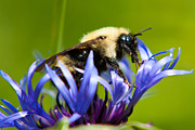 Centaurea Montana Photo Posters - Bee On a Blue Flower Poster by Matt Dobson