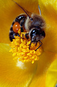 Bee Posters - Bee on a horned poppy Poster by Paul Cowan