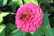 Prashant Shah - Bee on a Pink Flower -...