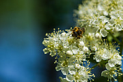 Nectar Posters - Bee on a rowan flower - Featured 3 Poster by Alexander Senin