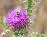 Todd Soderstrom - Bee on a Thistle Flower