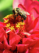 Zinnia Elegans Framed Prints - Bee on a Zinnia flower Framed Print by Optical Playground By MP Ray