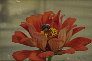 Stamen Digital Art Framed Prints - Bee on a Zinnia Framed Print by Janice Rae Pariza