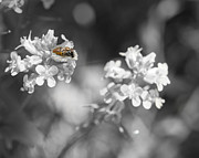 Todd Soderstrom - Bee on Black and White...