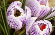 Grow Inside Prints - Bee On Crocus Print by Raven Regan