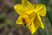 Tony Priestley - Bee on Daffodil