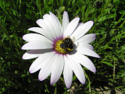 Sunlight On Petals Prints - Bee on Daisy Print by Elaine Jones