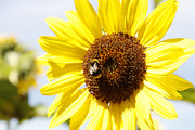 Sunflower Photograph Posters - Bee on flower Poster by Les Cunliffe