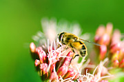 Green Leafs Posters - Bee on flower Poster by Michal Bednarek