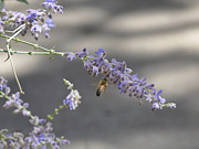John Moody - Bee on Lavender