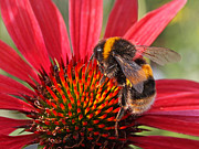 Healing Posters Photos - Bee on Red Coneflower 2 by Gill Billington