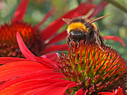 Healing Posters Photos - Bee on Red Coneflower by Gill Billington