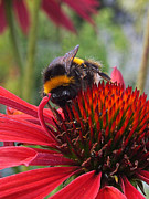 Healing Posters Photos - Bee on Red Coneflower Vertical by Gill Billington