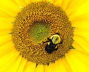 Bloom Art - Bee on Sunflower by Photographic Arts And Design Studio