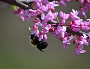 Marykzeman Posters - Bee on the Redbud Poster by Mary Zeman