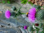 Maureen Dowd - Bee on thistle