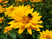 Art Photography - Bee on yellow flower