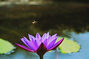 Lily Pad Greeting Cards Posters - Bee over Lotus Poster by Kristina Deane