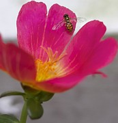 Jennifer Lamanca Kaufman - Bee resting on a pink...
