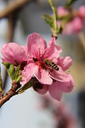 Markus Jolley - Bee working Peach Blossom
