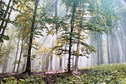 Evening Light Pastels Prints - Beech Forest In Fog  Print by Odon Czintos
