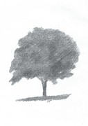 Alan Daysh - Beech Tree Drawing...
