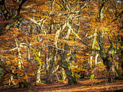 Hudewald Photos - Beech tree group in autumn light by Martin Liebermann