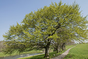 Michael Photo Posters - Beech tree Poster by Michael Mogensen