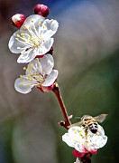 Beeing The Blossom Print by Barbara Chichester