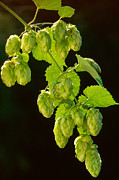 Backlit Photo Posters - Beer Hops Poster by Anonymous