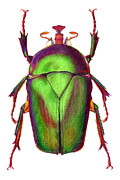 Beetle Drawings Framed Prints - Beetle Framed Print by Elizabeth Smith
