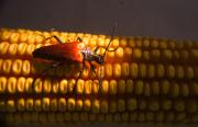 Mandible Posters - Beetle on Corn Ear Poster by Douglas Barnett