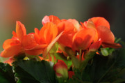 Addie Hocynec Art Photos - Begonia by Addie Hocynec