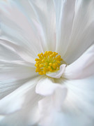 Flower Gardens Photos - Begonia Flower Macro by Jennie Marie Schell