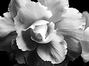 Silver And Black Framed Prints - Begonia Flower Monochrome Framed Print by Jennie Marie Schell