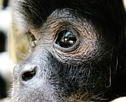 Ape Photo Originals - Behind its eyes by Gabriel Peraza