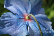 Green And Blue Prints - Behind the Blue Poppy Print by Carol Groenen