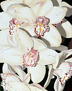 Photorealistic Posters - Beige Cymbidium Orchids Poster by Sharon Von Ibsch
