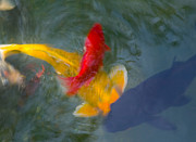 Gold Fish Photos - Being Koi by Rich Franco
