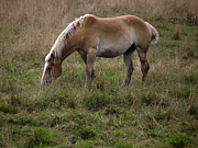 Belgian Draft Horse Photos - Belgian Draft Horse by Joyce  Wasser