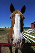 Belgian Draft Horse Photos - Belgian Draft Horse Up Close by Gerald Marella