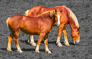 Belgian Draft Horse Photos - Belgian Draft Horses by Brian Stevens