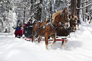 Belgian Draft Horse Photos - Belgian Draft Horses pulls a sleigh in Yosemite National Park by Jason O Watson