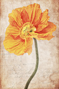 Elegant Mixed Media Posters - Bella orange Poster by Angela Doelling AD DESIGN Photo and PhotoArt