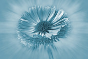 Bellis Prints - Bellis Cyanotype Print by John Edwards